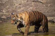 Royal Bengal Female Tiger Rest...