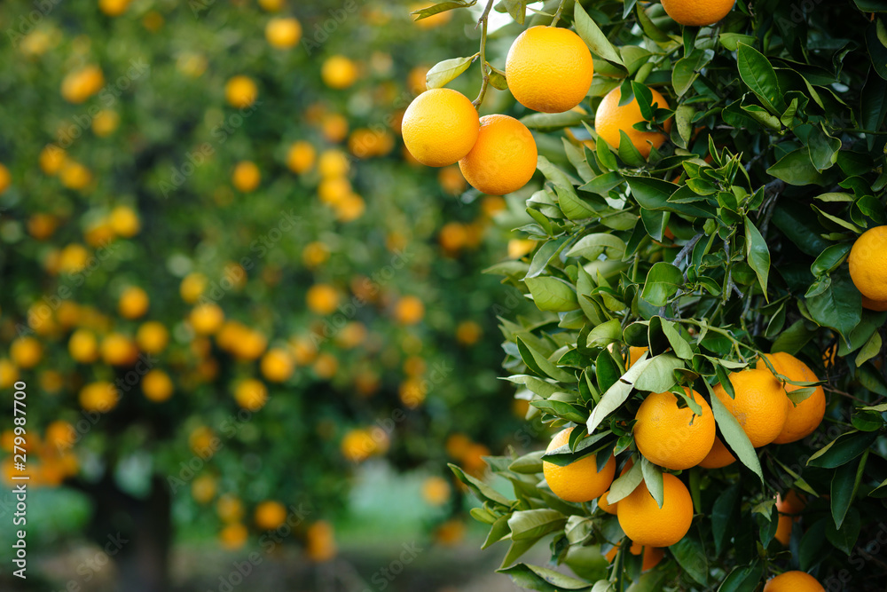 Fototapeta Valencia oranges hanging from tree with more laden trees in blurred orchard background.