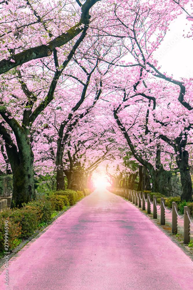 Fototapeta Lighting at the destination Walking path under the beautiful sakura tree or cherry tree tunnel in Tokyo, Japan