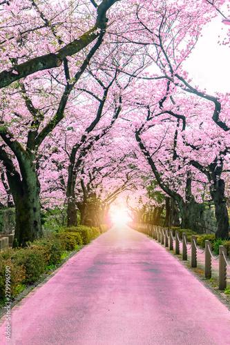 Foto auf Gartenposter Rosa hell Lighting at the destination Walking path under the beautiful sakura tree or cherry tree tunnel in Tokyo, Japan