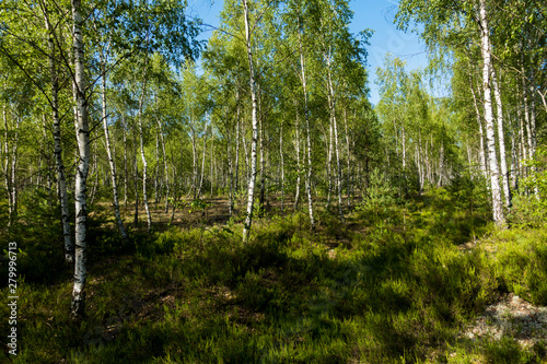 Brzoza brzozy las brzozowy brzózki zielony las tapeta lato - 279996713