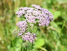 Pink Common Yarrow Wildflower Achillea Millefolium Growing In I Field