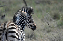Baby Zebra In The Kruger Natio...