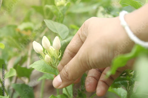 Close up woman hand pick group of bud Thai white jasmin flower on tree, sign of Canvas Print