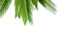 Group Of Big Green Leaves Of Exotic Date Palm Tree, Isolated On White Background. Tropical Plant Foliage With Visible Texture. Pollution Free Symbol. Close Up, Copy Space.