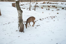 Young Deer In Winter, Against The Background Of Birds