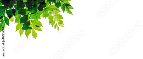 Poster Pays d Asie Green leaves isolated on white background with copy space