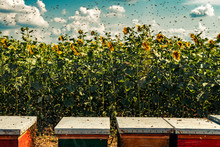 Beehives In Sunflower Field Wi...