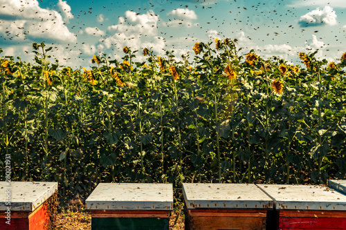 Fotografía  Beehives in sunflower field with many bees flying around