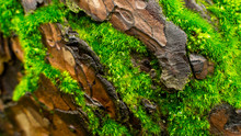 Green Moss Inserted Along The Pine Tree Bark.close-up
