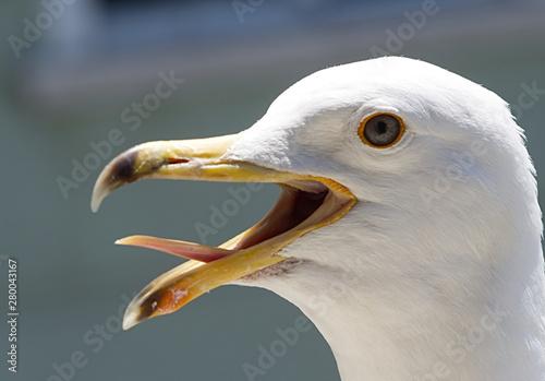 Fotografia seagull head close up