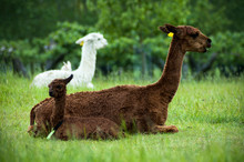 Brown Alpaca Mother And Baby