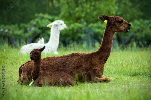 Montage in der Fensternische Lama Brown alpaca mother and baby