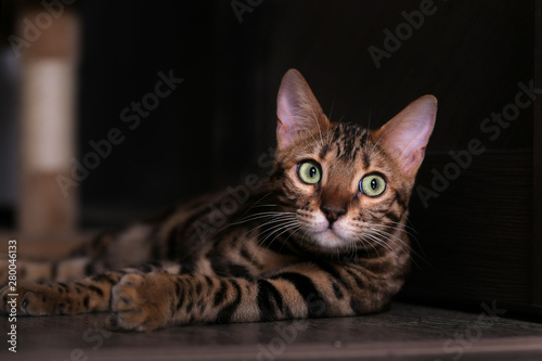 Bengal cat lying on the shelf