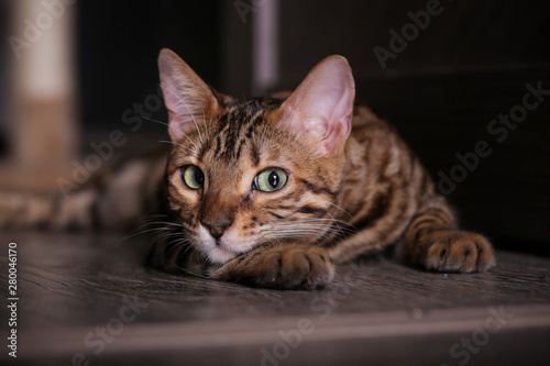 Keuken foto achterwand Kat Bengal cat lying on the shelf