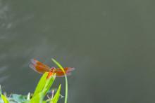 Orange Skimmer Dragonfly Or Asian Amberwing