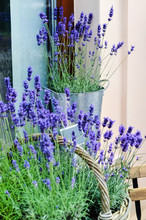Lavender Flowers In A Pot