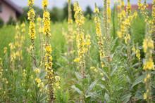 Verbascum Lychnitis, Mullein, Velvet Plant Yellow Flowers