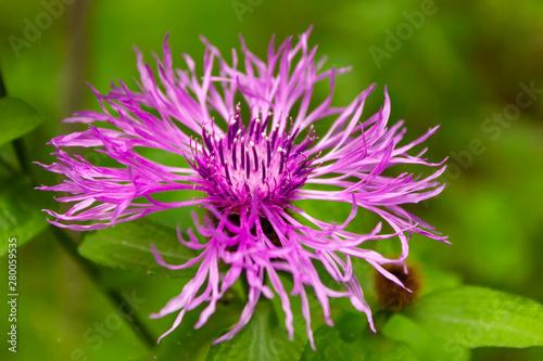Flower burdock on a blurred background close-up Fototapeta