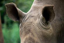 Closeup White Rhino Ears With Beautiful Skin Texture In Green Blur Background.
