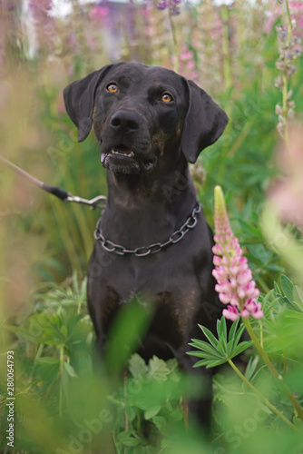 The portrait of a young black with brindle trim Louisiana