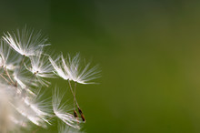 Achenes Of A Dandelion On A Green Background