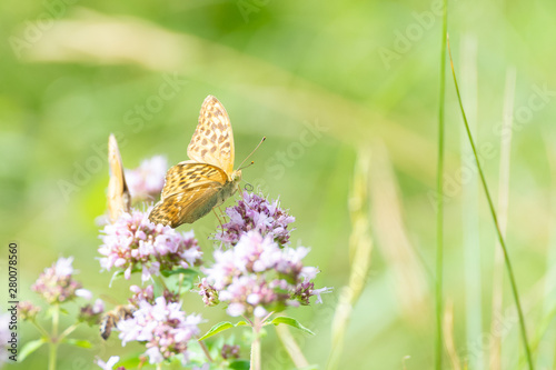 Canvas Prints Butterfly Silver-washed fritillary