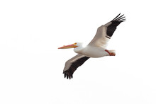 Open Winged Pelican On White Background