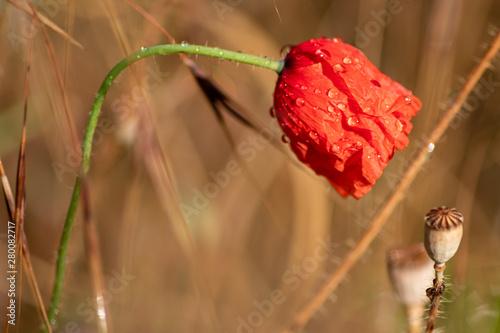 Mit Regentropfen benetzte rote Mohnblüte mit grünem Stengel als schöner Farbkont Canvas Print