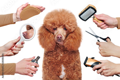Poodle isolated on white background getting grooming procedures Poster Mural XXL