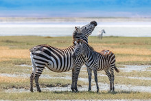 Two Zebras Standing In Th...