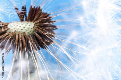 Dandelion seeds blowing in wind summer field on blue background. Change growth movement and direction concept. Inspirational natural floral spring or summer garden or park. Ecology nature landscape #280091545