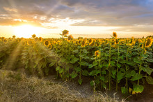 Sunflower Field At Sunset. Blo...