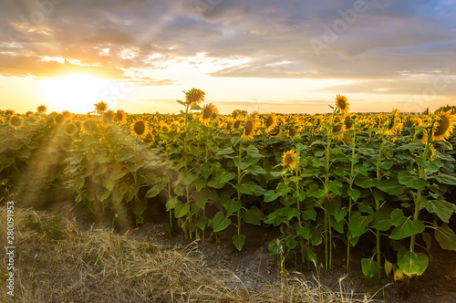 Sunflower field at sunset. Blooming yellow sunflowers against a colorful sky with sunrays of setting sun. Summer rural landscape. Concept of rich harvest
