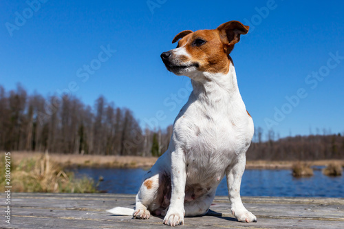 Fotografie, Obraz  Young Jack Russell Terrier on boards.