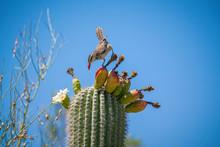 Cactus Wren Eating Saguaro Cac...