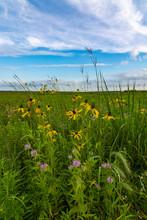 Pinnate Prairie Coneflowers