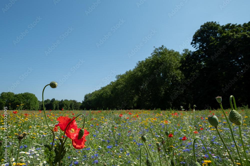 Fototapeta Colourful wild flowers, photographed during the July 2019 heatwave in Gunnersbury Park, London UK.