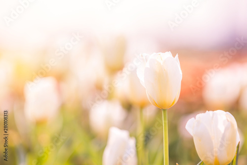 Fototapeta  Tulip in Spring under sun ray, Beautiful and colourful tulip on sun light
