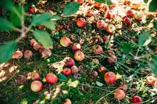 Rotten Apples On The Ground At An Apple Orchard