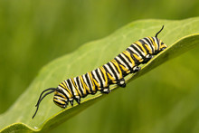 Monarch Butterfly Caterpillar ...