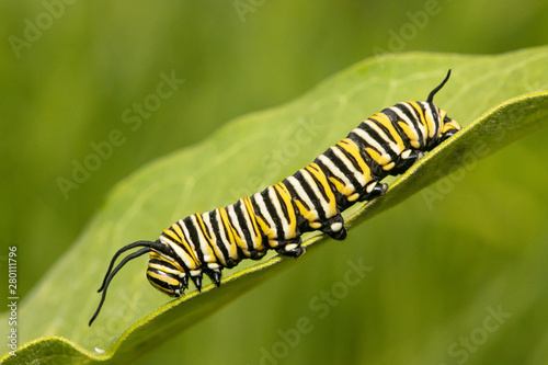 Fotomural Monarch butterfly caterpillar - Danaus plexippus