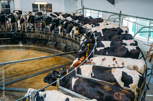 Fotografie, Obraz Milking cows by automatic industrial milking rotary system in modern diary farm