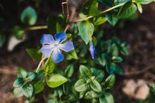 Purple Vinca Plant With Flowers