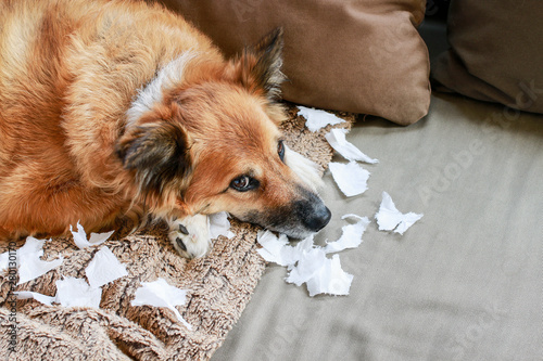 Obraz Dog lying on the sofa with torn papers. - fototapety do salonu