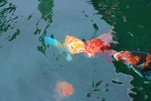 Koi Fish Swim On The Pond