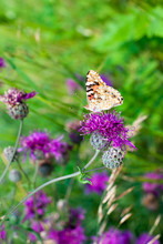 Painted Lady Butterfly On Bloo...