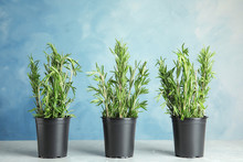 Potted Rosemary On Grey Table Against Light Blue Background