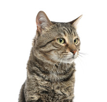 Cute Tabby Cat Isolated On Whi...