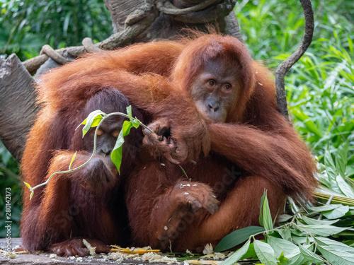 Fotomural Captive Sumatran Orangutans (Orangutang, Orang-utang)